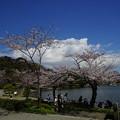 Photos: 三渓園の桜
