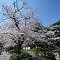 Photos: 元町公園の桜