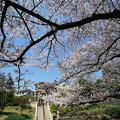 港が見える丘公園の桜