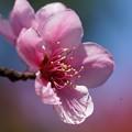 Photos: 桃の花