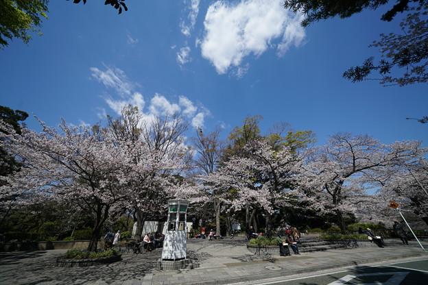 元町公園の桜