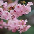 Photos: 横浜緋桜