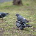 仲良しな鳩
