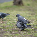 Photos: 仲良しな鳩