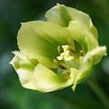 緑のチューリップ