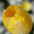 Photos: 黄色いチューリップ