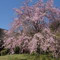 Photos: 枝垂れ桜
