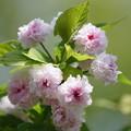 兼六園菊桜