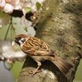 Photos: 桜に雀
