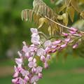 ピンクの藤