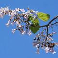 Photos: 桐の花