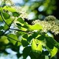 Photos: 水木の花