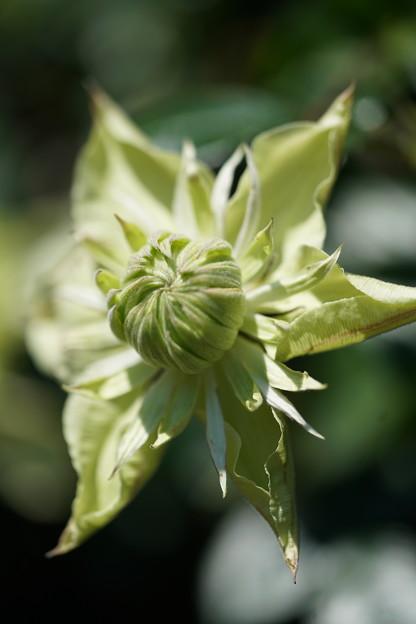 緑のクレマチス