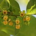 Photos: 柿の花
