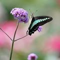 花とアオスジアゲハ