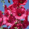 Photos: 赤い立葵