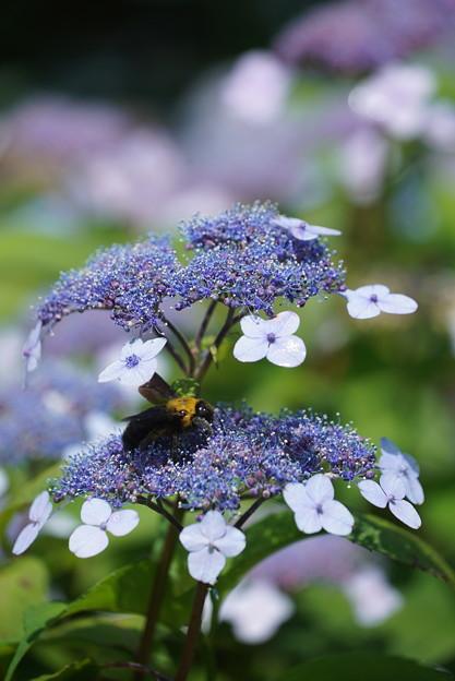 紫陽花とクマバチ