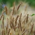 Photos: 小麦