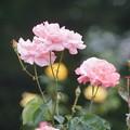Photos: 初夏の薔薇