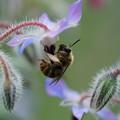 Photos: 蜂とポリジ