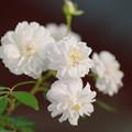 Photos: 白い薔薇