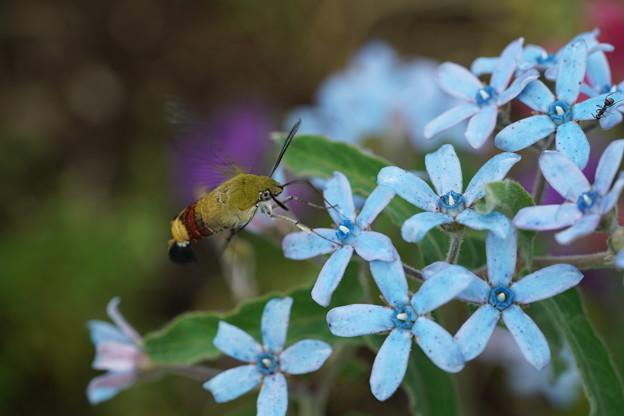 花とオオスカシバ