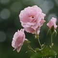 Photos: 桜貝
