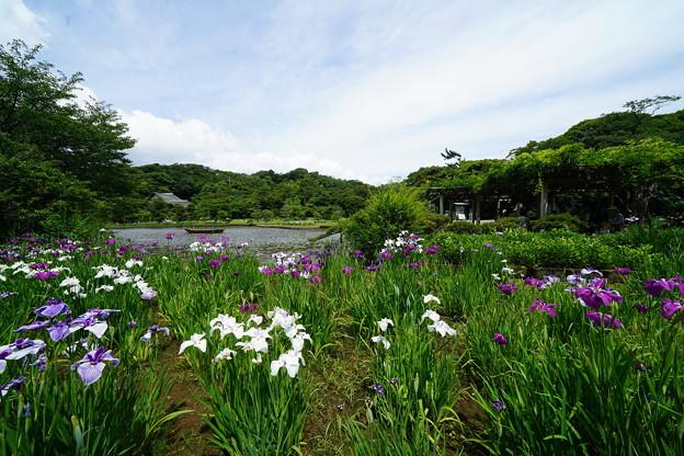 三渓園花しょうぶ