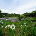 Photos: 三渓園花しょうぶ