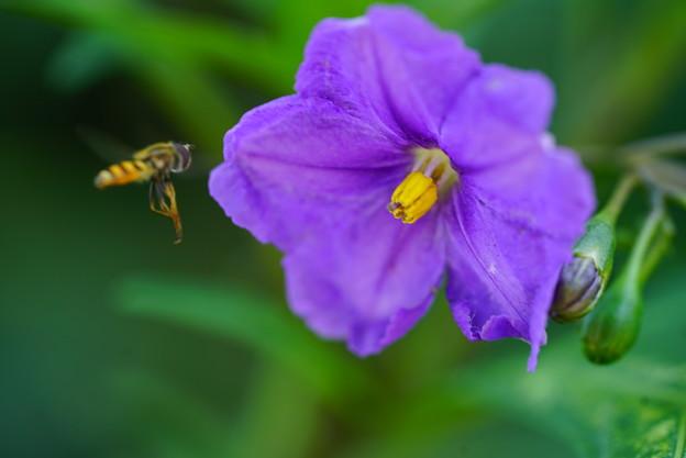 アブと紫宝花