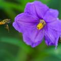 Photos: アブと紫宝花