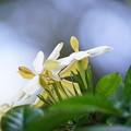 Photos: 7クチナシの花