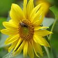 Photos: 蜂と向日葵