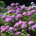 紫陽花の花々