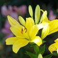Photos: 黄色い百合