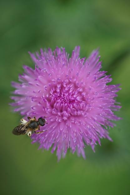アザミと蜂