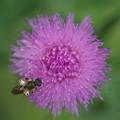 Photos: アザミと蜂