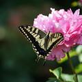 Photos: 薔薇とキアゲハ