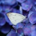 Photos: 紫陽花と蝶