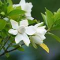 Photos: クチナシの花