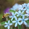 Photos: 花とオオスカシバ