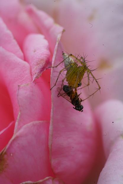 蜂捕らえた蜘蛛