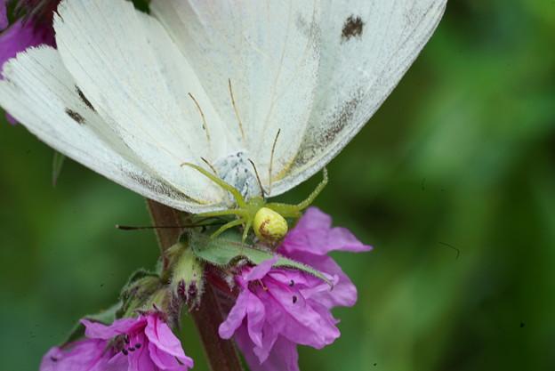 蝶を捕らえた蜘蛛