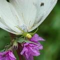 Photos: 蝶を捕らえた蜘蛛