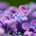 Photos: おたふく紫陽花