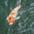 Photos: 鯉