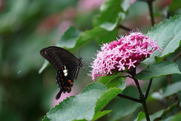花とモンキアゲハ