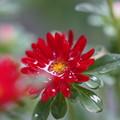 Photos: 雨の日の花