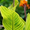 カンナの葉