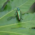 Photos: 玉虫